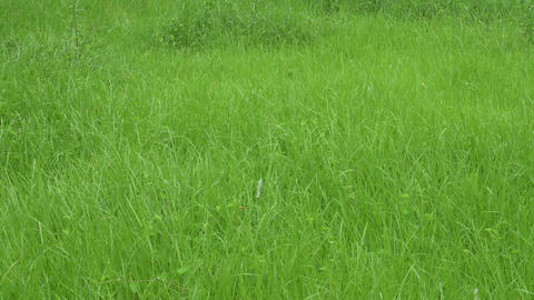 Fresh green grass growing up in monsoon 영상물