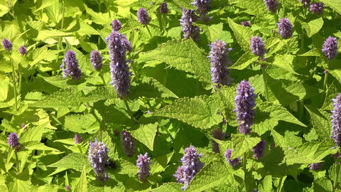 Blue Giant Hyssop also called anise hyssop Footage