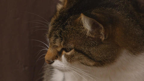 Cat person animal pet snout cute Footage