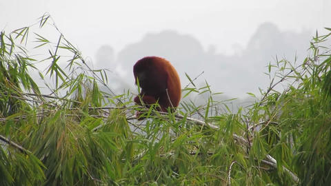 Fauna howler monkey mono Live Action