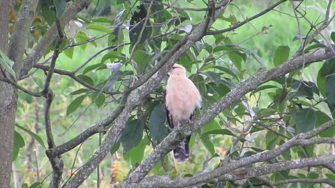 Fauna nature ave aguila colombia Live Action