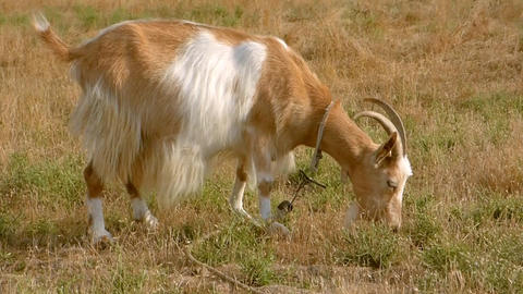 Red Goat With A Large White Spot Footage