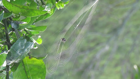 Spider insect weaving Footage
