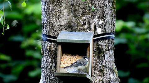 Photo of titmouse aviary food Footage