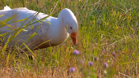 White geese farm economy poultry Live Action
