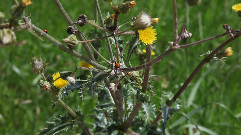 Yellow flowers blowing in the wind with several Ladybugs Footage