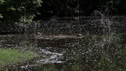 Cottonwood Seeds Blowing Into A Pond stock footage