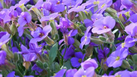 Bee on purple spring flowers Footage