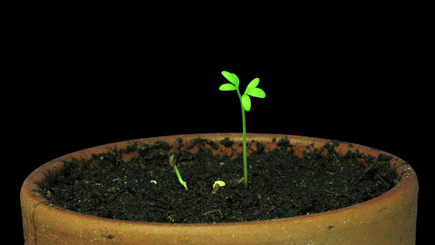 Time-lapse of growing cress plant in RGB + ALPHA matte format Live Action