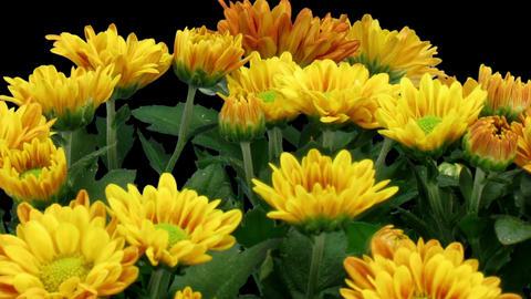 Time-lapse of opening orange chrysanthemum flower in RGB + ALPHA matte format Footage