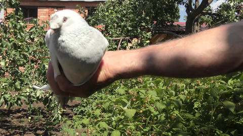 Postal pigeon in hand coach pigeons Live Action