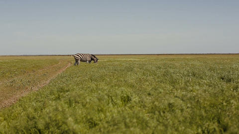 A herd of zebras is grazing in the steppe. Grass is moving on the wind Footage