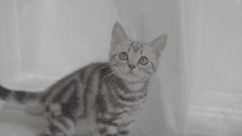 猫、子猫、仔猫、ねこ、ネコ、猫じゃらし、遊ぶ、楽しい、可愛い、かわいい、ライフスタイル、動物、小動物、癒し、動画素材、ニャンコ、にゃん、ペット、殺処分、幸せ、家 ビデオ