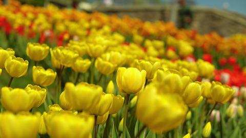 Yellow tulips blooming GIF