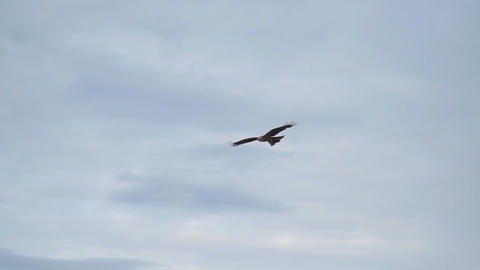 Bird of prey flying against cloudy sky Live Action