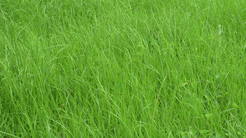 Fresh green grass growing up in monsoon Footage