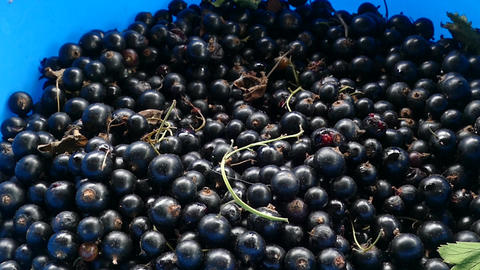 black currant crop and hand 영상물