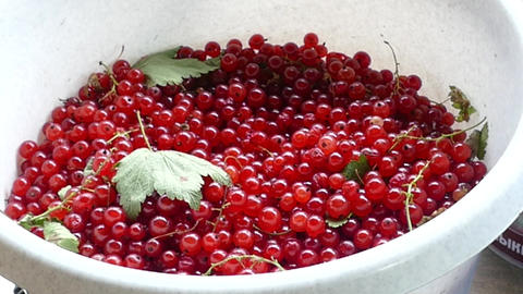 harvest of red and black currant Footage
