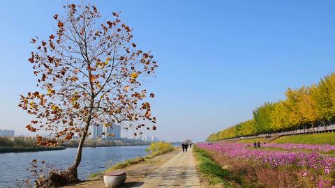 Autumn in Seoul City ,Asan Ginkgo tree Autumn city park.South Korea Footage