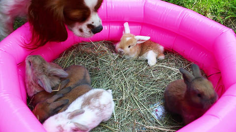 Baby rabbits mini lop kit playing. 16 day old rabbit kits Footage