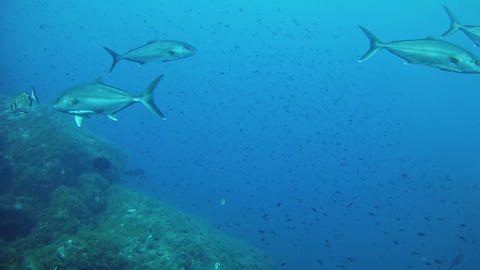 Scuba diving with a jack fishes shoal - Mediterranean sea marine life Live Action