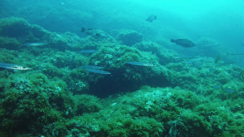 Nature underwater - Scene with barracudas in a reef Footage