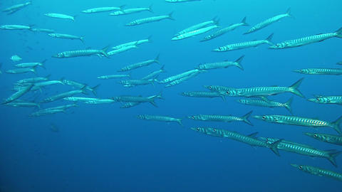 Underwater manine life - School of barracudas in the Mediterranean sea Live Action