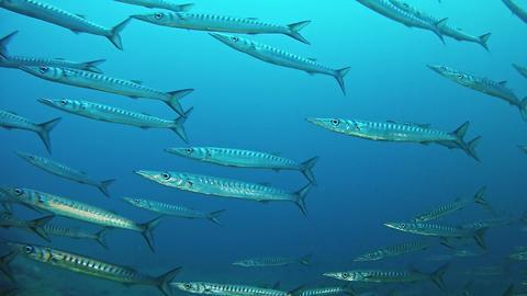 Scuba diving in dark blue sea - School of barracudas Live Action