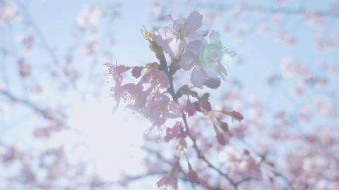 Kawazu Cherry blossoms,at Showa Memorial Park,Tokyo,Japan,Filmed in 4K Footage