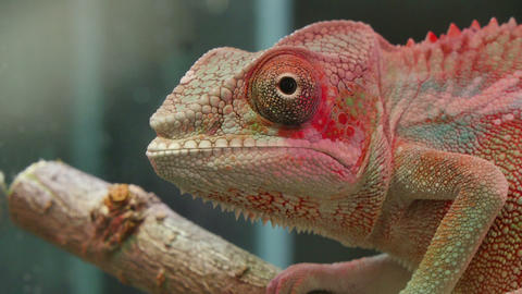Chameleon Reptile Moving Eyes Footage
