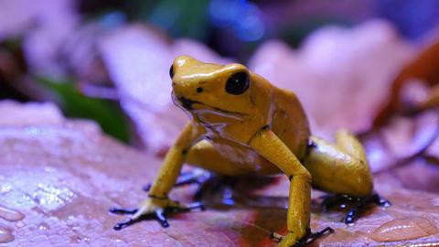 Golden Poison Terribilis Dart Frog Footage