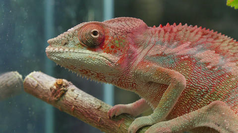 Chameleon Camouflage Reptile Live Action