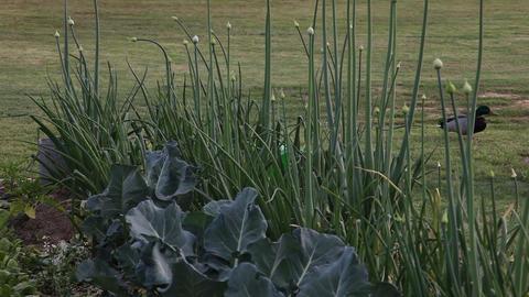 Ducks Walking Behind A Garden stock footage