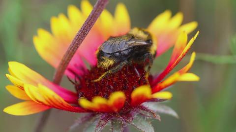 Bumblebees on a flower Gaillardia Footage