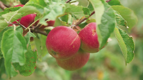 Ripe red apples on a tree Footage