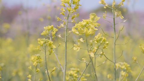 Flowers of Field mustard,at Showa Memorial Park,Tokyo,Japan,Filmed in 4K Footage