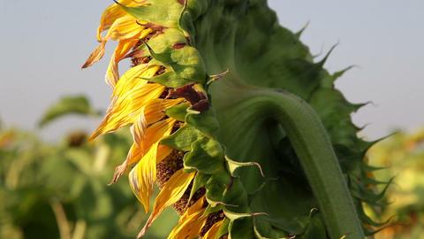 Huge Sunflowers Footage