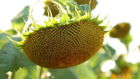 Sunflower, Сlose Up Footage