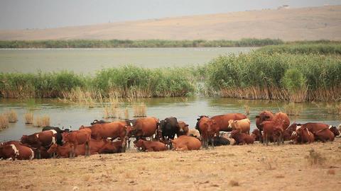 Herd of Cows Footage