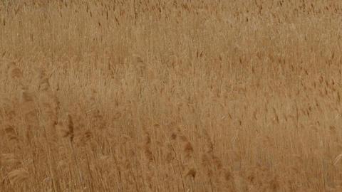 Phragmites Reeds, Windy Summer Footage