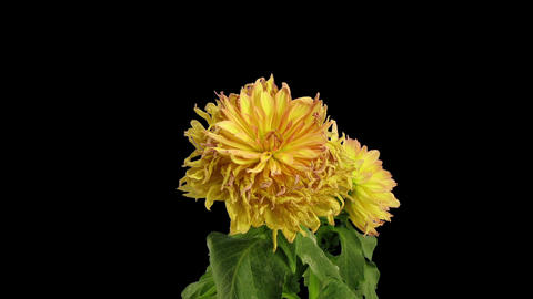 Time-lapse of dying pink yellow dahlia in RGB + ALPHA matte format Footage