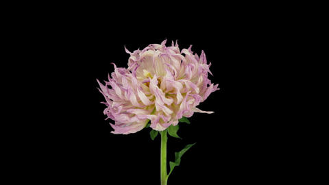 Time-lapse of dying pink dahlia flower in RGB + ALPHA matte format Footage