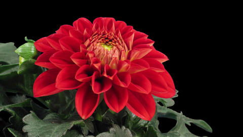 Time-lapse of blooming red dahlia in RGB + ALPHA matte format Footage