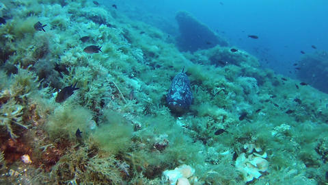 Underwater scene - Marine life Grouper fish resting in a reef GIF