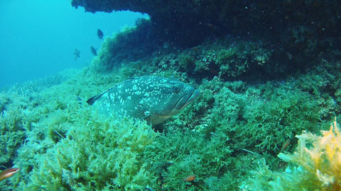 Nature underwater - Spoted grouper fish in a reef Footage