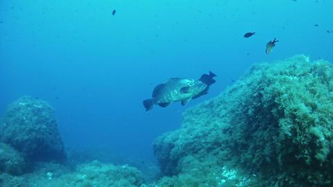 Marine wildlife - Grouper fishes courship Footage