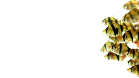 Tiger Barb fish Puntius tetrazona Footage