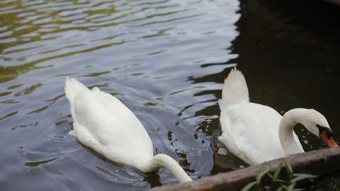 close-up of human hand feeding two white swan floating in a pond in a park ライブ動画