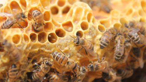 Bees convert nectar into honey. closeup of bees on honeycomb in apiary Footage