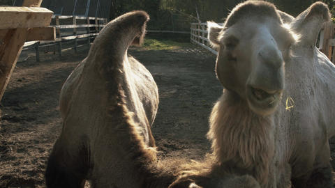 Two camel eat in slow motion GIF